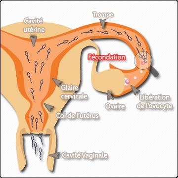 dure de vie spermatozoide